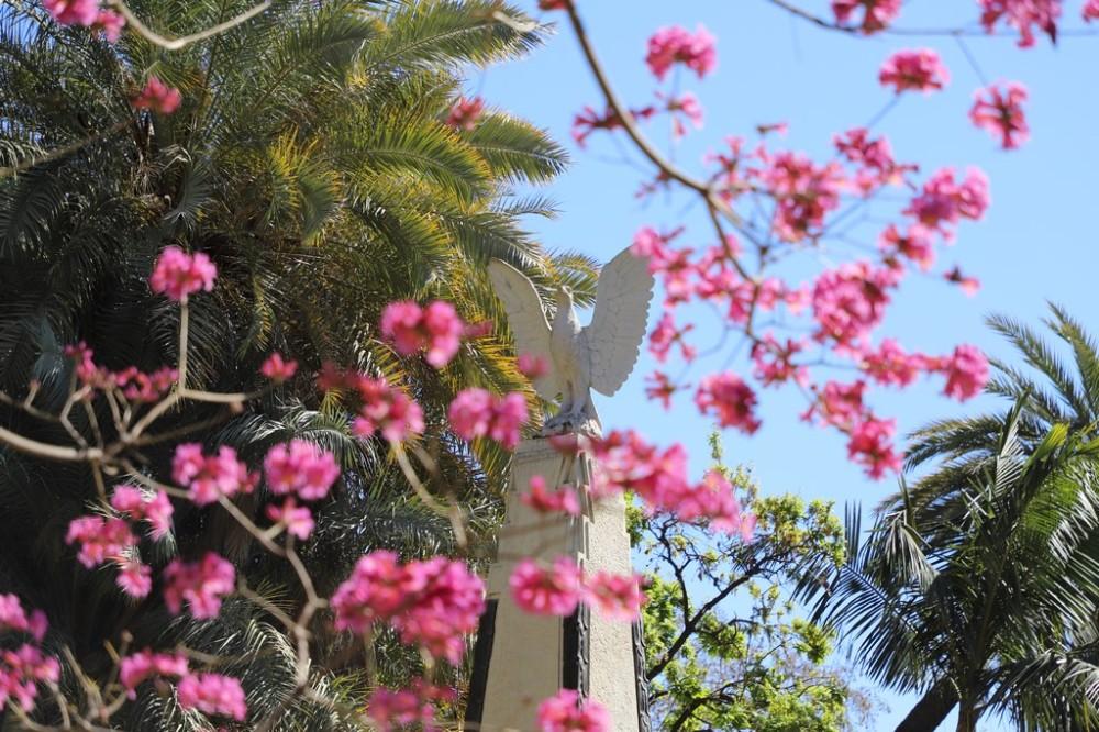 IMG_3929 Ceiba speciosa (Copy).JPG