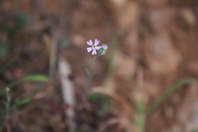 IMG_4010 Silene secundiflora (Copy)
