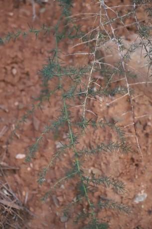 IMG_4020 Asparagus albus (Copy)