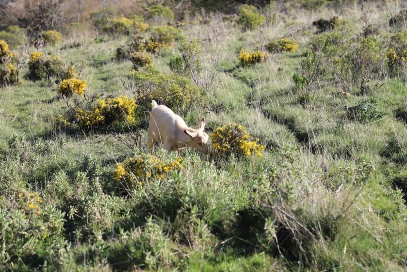 IMG_4054 Goat (Copy).JPG