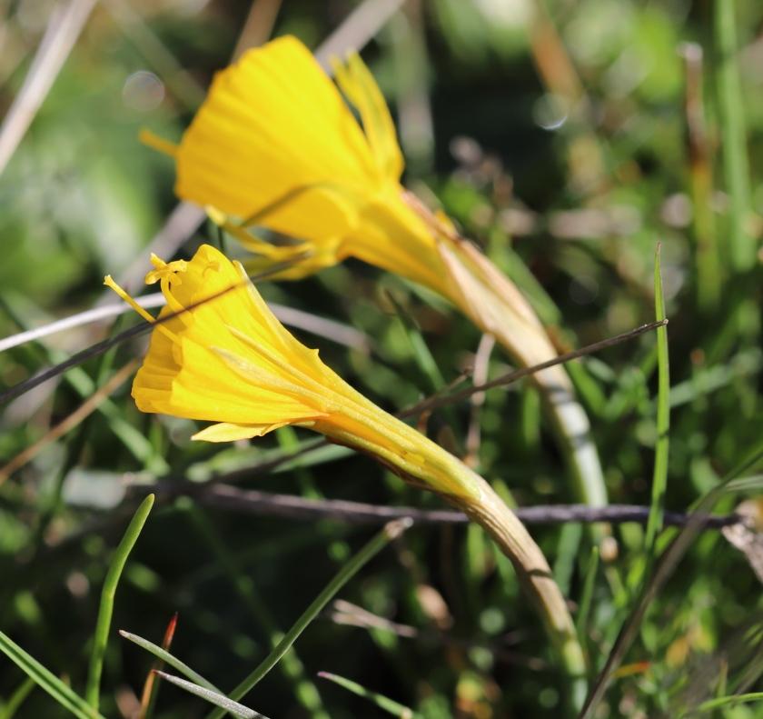 IMG_4078 Narcissus bulbocodium