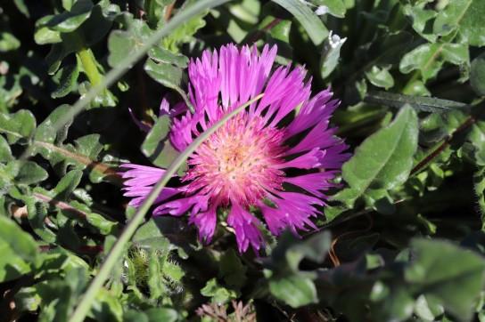 IMG_4102 Centaurea pullata (Copy)