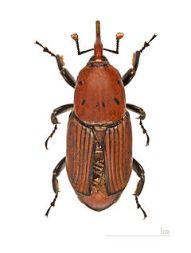 Rhynchophorus_ferrugineus_MHNT