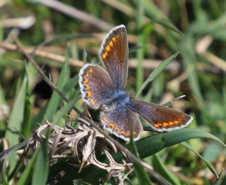 IMG_4840 - Blue butterfly (Copy)