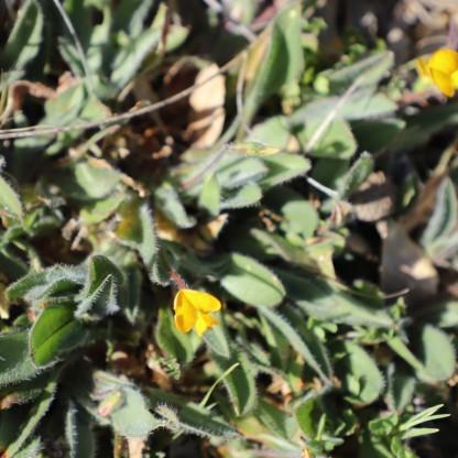 IMG_5041 Scorpiurus vermiculatus (Copy)