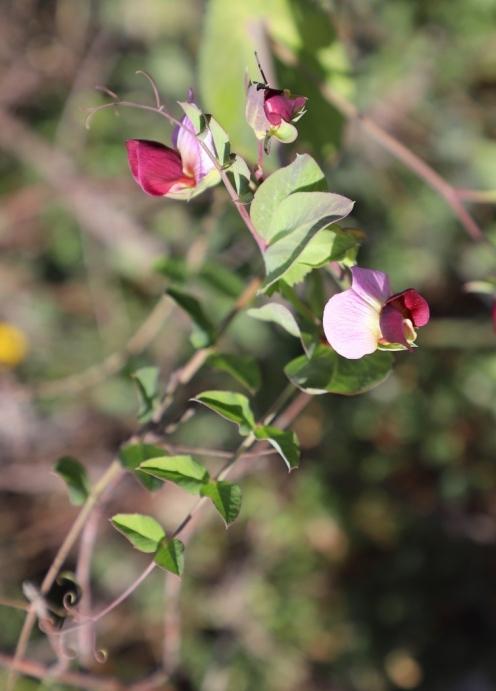 IMG_5044 Pisum sativum (Copy)