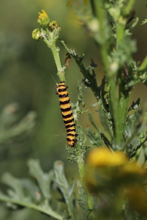 IMG_9847 Cinnabar moth (Copy)