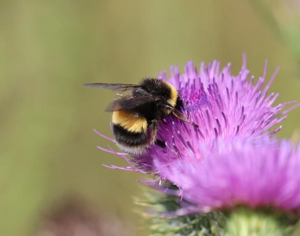 IMG_9854 Garden Bumblebee - Bombus hortorum (Copy)