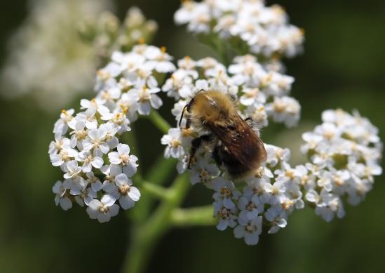 IMG_9886 Common Carder Bumblebee - Bombus pascuorum