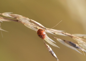 IMG_9945 24 Spot Ladybird - Subcoccinella vigintiquattuorpunctata