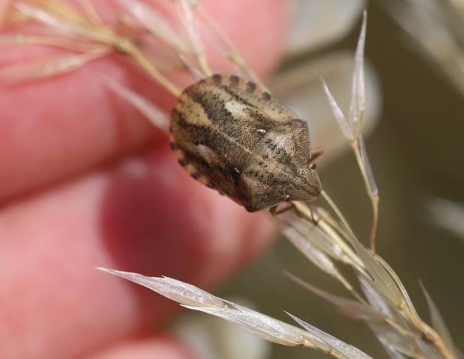 IMG_9965 Tortoise Bug - Eurygaster (cf) testudinaria
